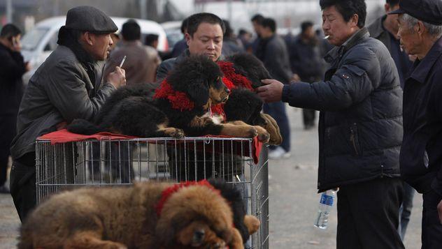 Трагедия тибетского мастифа: тысячи бездомных агрессивных собак, выброшенных богатыми китайцами, скитаются по Тибету